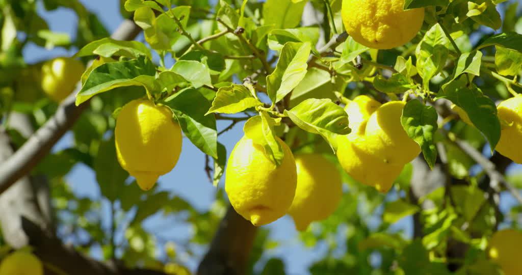 Limones en árbol